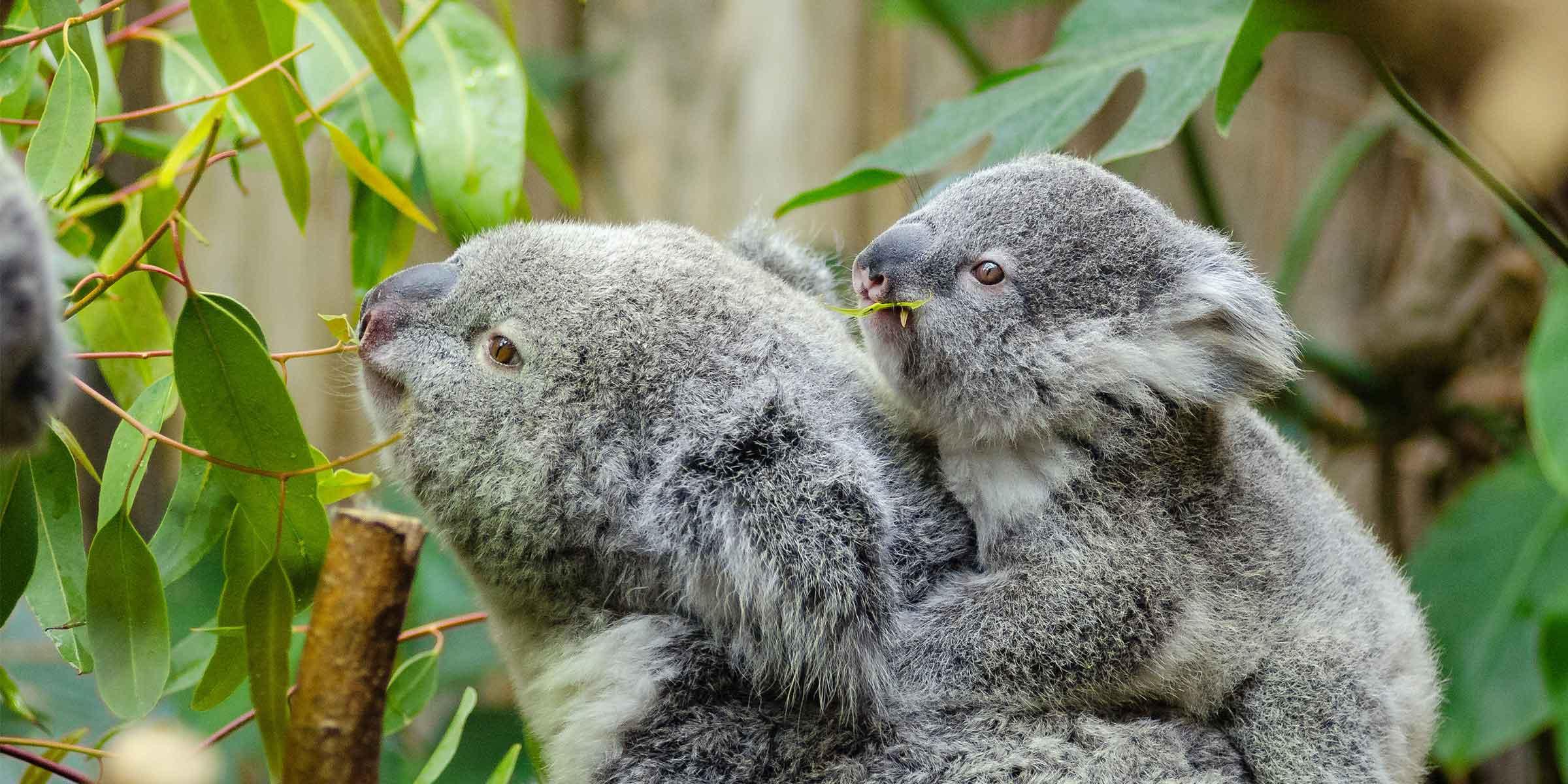 """Spendenaktion """"Rettet die Koalas!"""""""